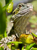 Eastern Water Dragon Sitting in Swamp Waiting for Prey Photographic Print by Brooke Whatnall