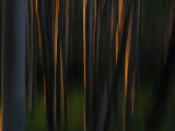Sunlight on Aspen Tree Trunks Photographic Print by Raul Touzon