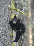 American Black Bear (Ursus Americanus), First Year Cub in a Tree Photographie par Rich Reid