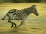 Zebra Running Through the Savannah Photographic Print by Beverly Joubert