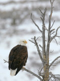 Bald Eagle Is Perched and Overlooking it's Surroundings in Winter Photographic Print by Drew Rush