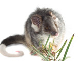 Baby Common Ring Tail Possum with Foot in Studio Photographic Print by Brooke Whatnall