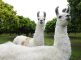 Group of Llamas on a Wooded Field Photographic Print by Raul Touzon