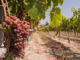Grapes on the Vine in Monterey County Photographic Print by Richard Nowitz