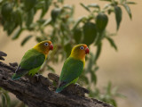 Pair of Fischer&#39;s Lovebirds, Agapornis Fischeri, Perched in a Tree Photographie par Ralph Lee Hopkins