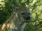 Spotted Hyena (Crocuta Crocuta) Photographic Print by Beverly Joubert