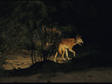 Dingo Licking its Lips after Drinking from a Water Hole Photographic Print by Medford Taylor