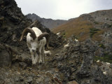 Dall Sheep Rams Form Bands During the Summer in Alaska Photographic Print by Michael S. Quinton