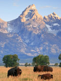 Group of Bison Pass Beneath the Grand Teton in Wyoming Photographic Print by Drew Rush