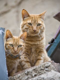 Cerro Alegre, Valparaiso, Chile. Street Scenes, Two Cats Ontop of Fence Photographic Print by Richard Nowitz