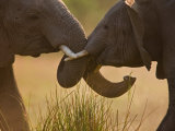 Two African Elephants, Loxodonta Africana, Fighting Photographic Print by Beverly Joubert