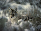 Coyote Hunting in a Sagebrush Meadow Photographic Print by Michael S. Quinton