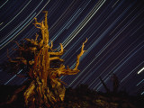 Time Exposure of Night Sky and Bristlecone Pine Tree Fotografisk tryk af Paul Chesley