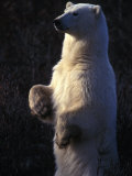 Polar Bear Stands on Hind Legs in a Field Photographic Print by Nick Norman