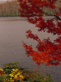 Red Maple Tree and Rhododendrons on the Shore of Price Lake Lmina fotogrfica por Raymond Gehman