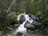 Snowmelt Cascading over Boulders in a Sub-Alpine Forest of Alpine Ash Photographic Print by Jason Edwards