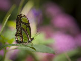 Green Butterfly Photographic Print by Greg Dale
