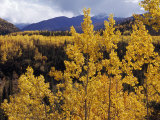 Aspen Trees in Autumn Hues Glow Golden in Denali National Park Photographic Print by Ed George