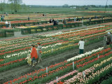 People Walk Between Rows of Blooms at a Tulip Farm Photographic Print by Andrew Brown