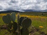 Cacti and a Field of Yellow Wildflowers Photographic Print by Medford Taylor