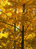 Fall Colors on Poplar Trees Photographic Print by Nick Norman