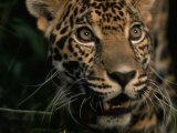 Portrait of a Jaguar Photographic Print by Steve Winter