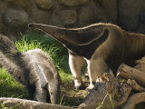 Captive Tropical Giant Anteaters (Myrmecophaga Tridactyla) Photographic Print by Rich Reid