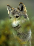 Gray Wolf in Alaska Photographic Print by Michael S. Quinton