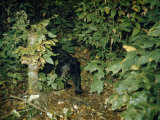 Black Bear Cub Pauses on the Edge of a Forest Clearing at Night Photographic Print by Robert Sisson