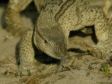 Close-up of a Monitor Lizard with Tongue Flicking Out Photographic Print by Beverly Joubert