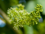 Close Up Image of Grape Vine Bud, About to Bloom Photographic Print by Brooke Whatnall