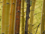 Close Up of Aspen Tree Trunks in the Fall Photographic Print by Raul Touzon