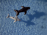 Shark and Whale Pool Floats in a Swimming Pool Photographic Print by National Geographic Photographer