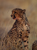 Cheetah (Acinonyx Jubatus) in Nambia's Etosha Park Photographic Print by Des & Jen Bartlett