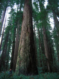 Forest of Sierra Redwood Trees Photographic Print by Nick Norman