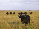 Small Herd of African Buffalo on a Vast Grassland Photographic Print by Beverly Joubert