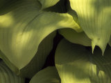 "Close Up Detail of Hosta ""Sun Power"" Leaves Photographic Print by Paul Damien"