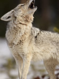 Coyote Howls to its Mate in Yellowstone National Park, Wyoming Photographic Print by Drew Rush