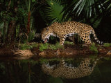 Jaguar Named Pepe Walks Near a Waterhole at the Belize Zoo Photographic Print by Steve Winter