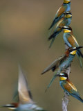 Beaks Replete with Prey, a Band of Bee Eaters Eye their Nearby Nests Photographic Print by Jozsef Szentpeteri