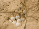 Eggs in the Nest of a Hawksbill Turtle Photographic Print by Beverly Joubert