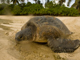 Hawksbill Turtle Crawling Back to Sea after Laying Eggs on the Beach Photographic Print by Beverly Joubert