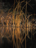 Pond Reeds and Grass Photographic Print by Nick Norman