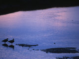 Dusky Canada Geese on Estuary, Prince William Sound, Alaska Photographic Print by Michael S. Quinton