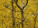 Aspen Trees in the Fall Photographic Print by Raul Touzon