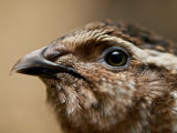 Close Up Image of the Head of a Common Quail Photographic Print by Brooke Whatnall