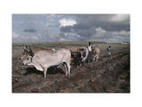 Two Men Stand Alongside Oxen in a Field to Be Planted with Cane Photographic Print by Jacob Gayer