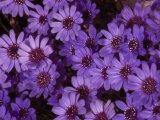 Cluster of Felicia Daisies, Felicia Heterophylla Photographic Print by Paul Damien