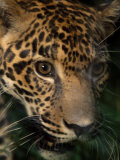 Close Up View of the Face of a Jaguar Named Boo, at the Belize Zoo Photographic Print by Steve Winter