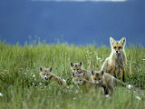 Red Fox Family, Idaho Photographic Print by Michael S. Quinton
